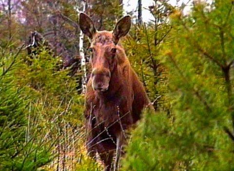 NOEN DAGER EKSTRA: Elgen i Brandbu og Tingelstad Almenning får noen dager ekstra i år. Jaktstart er utsatt til 5. oktober for at saueeierne skal kunne ha dyra sine noen dager ekstra på utmarksbeite.