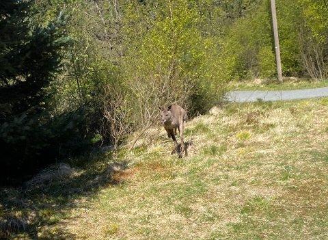 KENGURU I DET FRI: Vidar Levinsen tok dette bildet av kenguruen på Torvastad i forrige uke.