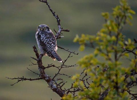 The Owl av Lars Håvard Eikeland.