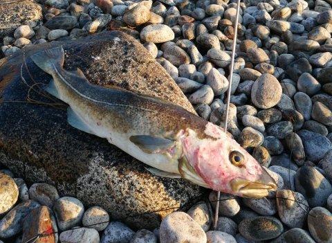 Skadet: Slik på den skadde torsken ut da fridykkeren fikk den opp på land.