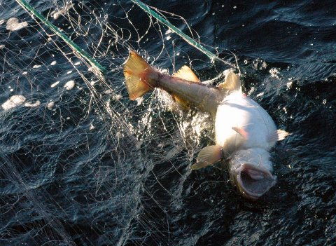 INNDRAGNING:  Skipperen røktet ikke garna så ofte som loven tilsier, og dermed ble fangstverdien inndratt. Ill.foto
