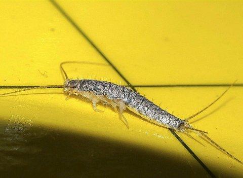 SKJEGGKRE: Insektet er nærmest umulig å bli kvitt, og boligeieren kan fange 50 insekter daglig. Foto: Geir Pollestad (Pelias)