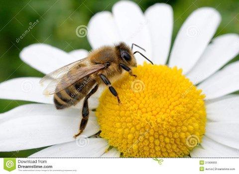 Er truet: Biene trues fra mange kanter. Du kan bidra til at de ikke dør ut.