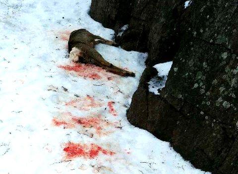 TRIST SYN: Ragnar Aunan og sønnen oppdaget det døde rådyret i grøftekanten på Vear.