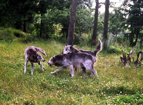 En ulv som ble funnet død i Hedmark i fjor, ble trolig skutt. Ulvene på bildet er tatt inne i en naturpark. Foto: Berit Keilen / NTB scanpix