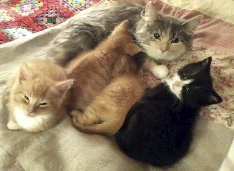 Lykkelig slutt: Kattungene har ikke bare fått en ny mor i Blue Belle, men også nye navn. Her koser Truls, Trøfti, Tordenskjold og Tequila seg i sitt nye hjem.Foto: Dyrebeskyttelsen Norge i Tromsø