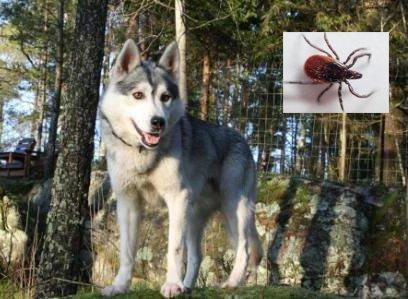 UØNSKET BESØK: Så tidlig som 5. januar i år oppdaget Kenneth Ask en flått på hunden Sid.