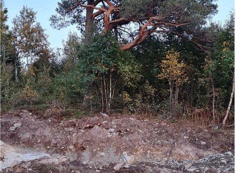 FURU: - Alle røttene på nedsiden er kuttet av et par meter fra stammen, skriver Svein Dybdahl i et brev til Tinn kommune. (alle foto privat)