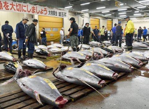 Tunfiskmarkedet i Tokyo er svært viktig og prisene kan bli himmelske. Nå er japanske eksperter utplassert i Norge for å sikre seg norsk makrellstørje – en fisk som er tilbake etter å ha vært borte i mange år fra norskekysten. Foto: NTB scanpix