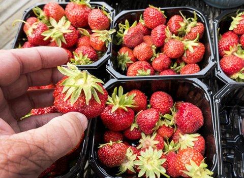 FÆRRE BÆR: Frostskader og koronakrisen vil ha en effekt på jordbærmengdene i sommer.