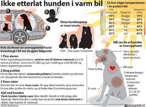 Hvis du finner en overopphetet hund innestengt i bil må du gjøre følgende (Nyhetsgrafikk).
