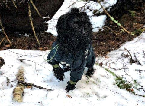 Ett år gamle Fina, en tispe av rasen bolonka, er savnet i Nordre Frogn.