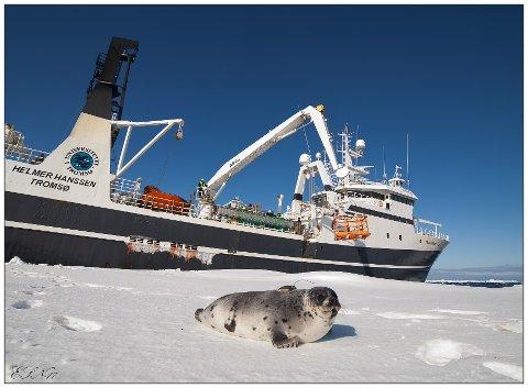 MERKING: I et år skal professor i arktisk biologi, Erling Sverre Nordøy, følge vandringsmønstret til unge seler.