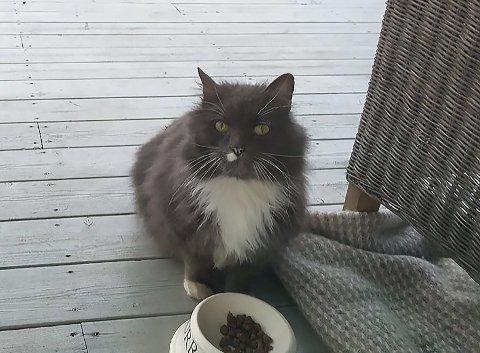 Moss og Omegn dyrebeskyttelse etterlyser eier av denne katten.