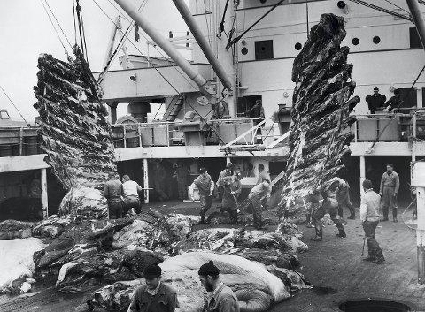 Store mengder: I sesongen 1930–31 opererte 11.000 mann på 41 ekspedisjoner, seks landstasjoner og 232 hvalbåter i Antarktis. Dette året ble det skutt over 40.000 hval og produsert 3,6 millioner fat hvalolje. Dette bildet er fra Thorshøvdi noen år senere. Alle foto: Sandefjord lokalhistoriske senter