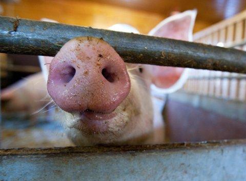 TRONDHEIM  20091013. Grisene på Voll gård i Trondheim er ikke smittet av svineinfluensa og folk kan trykt besøke grisen. Foto: Gorm Kallestad / Scanpix