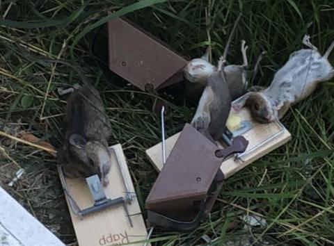 FELLE FANGST: Både plastfeller av nyere type og den gamle varianten av musefeller gjør nytten i kampen mot mus som trekker innendørs.