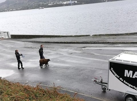 Politibetjentene fikk til slutt fatt på sauene som hadde rømt fra slakterbilen.