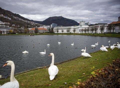De to svanene som ble funnet død i Lille Lungegården hadde fugleinfluensa