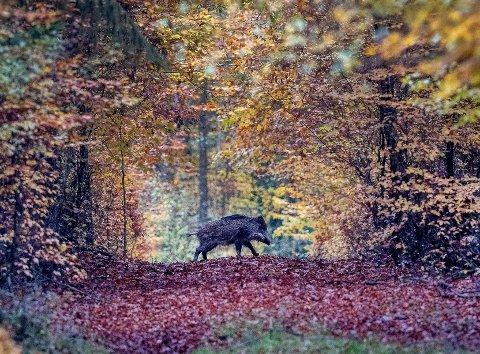 SPORET: Villsvinspor ved Åbogen på natta gjorde at Elvias mannskap utsatte linjeretting til dagslyset kom. Den tyske fotografen Michael Probst melder at villsvin nå er blitt et dagligdags syn i Taunus-regionen et stykke utenfor storbyen Frankfurt.