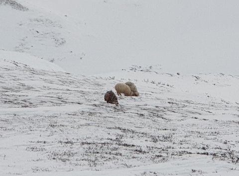 FUNNET JULEKVELDEN: Her går sauene i Rondane. En redningsaksjon starter onsdag morgen.