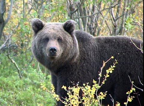 BJRØN: Bjørn i Sør-Varanger går til angrep på dyr, men ingen skal være drept eller hardt skadd. Bildet er tatt ved en annen anledning.