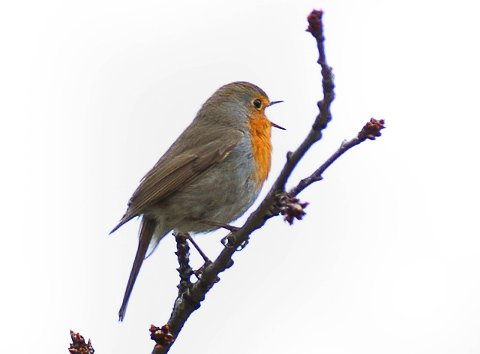 Rødstrupen: Eller tiurklokka som den blir kalt. Den første av småfuglene som begynner å synge om morgenen.