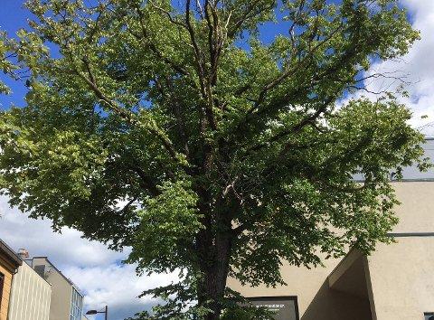 ALMETRE: Dette treet er det mange som passerer når de besøker Larvik sentrum.