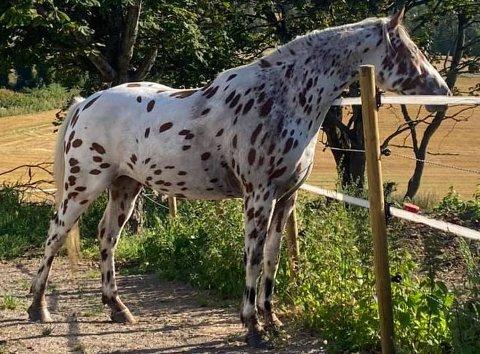 HEST: Denne hesten er forsvunnet, kanskje du har sett den?