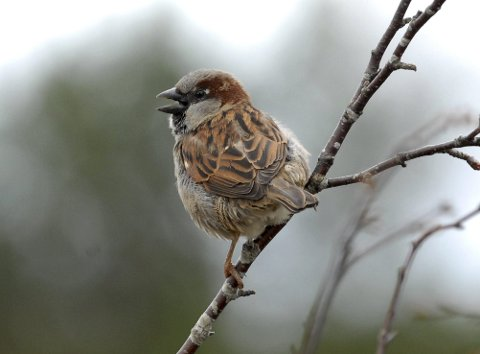 FUGLETIPS: Mange er opptatt av hvordan de skal få flere fugler til foringsbrettet sitt. Her er en gråspurv som venter på mat.
