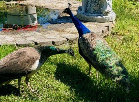 BORTE: Dette er to av de seks påfuglene på Filtvet som har rømt.
