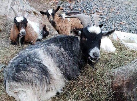 BORTE: Disse geitene var vært borte i fire måneder.