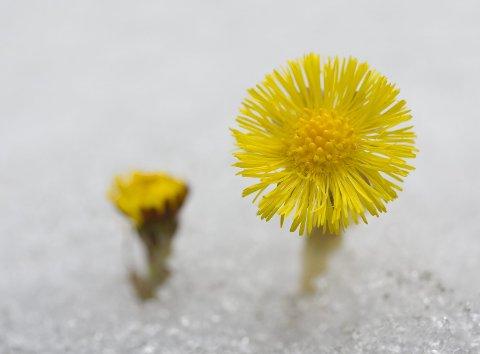 TIDLIG: Når vinteren knapt har sluppet taket utvikler blomstene seg seint. Her har hannblomstene i midtskiva ikke rukket å åpne seg enda.