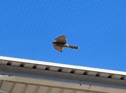 Denne fuglen besøkte hageavdelingen på varehuset i Vestby mandag. I løpet av oppholdet, spiste den også middag – en gråspurv den fanget selv.