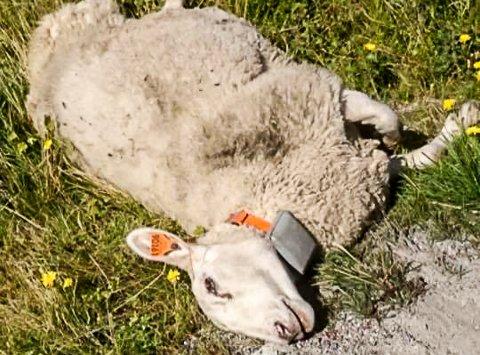 SAU: Anne Trøseng fikk tirsdag formiddag melding fra forbipasserende om at en av sauene hennes lå død i veikanten, i veien opp mot Haglebu. Det uten at vedkommende som kjørte på dyret, hadde meldt om sammenstøtet.