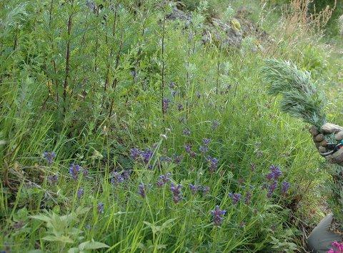 ATSJO: Stadig flere reagerer på denne planten, som du ofte finner langs vegkanter; burot. Arkivfoto.