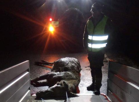 PÅKJØRT: En elgku ble påkjørt på SLangsvoldveien i Råde mandag kveld.