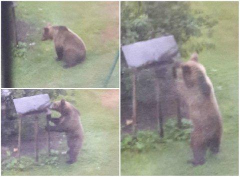 PÅ BESØK: Søndag morgen hadde Marit Furuknap besøk på fuglebrettet hjemme i Skybakgrenda i Elverum. En bjørn kom for å spise av «frokostbuffeten» hun legger ut til dyra. Foto: Marit Furuknap