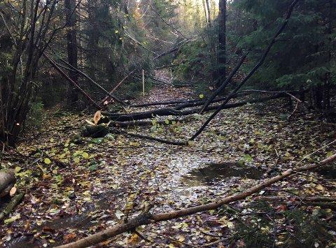 LÅ STRØDD: På stien opp til Skånevann i Åros lå nedfelte trær strødd. - Dette var forferdelig trist å se, sier turgåer Kjell Hermod Teigen.