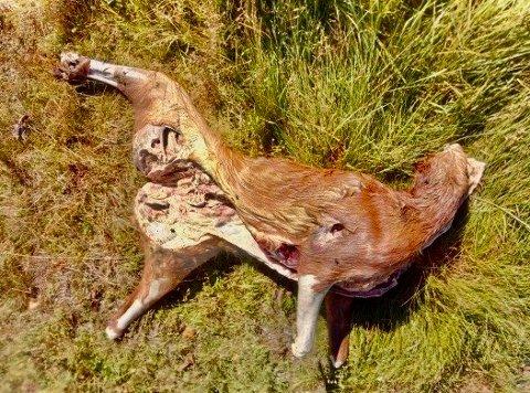 BESTIALSK: Slik ble dyret funnet, skutt, utvommet, med avkappet hode og ben. Dette blir nå en politisak.