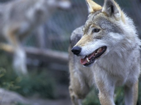 Ulven som jaktes på frem til mandag har ifølge beitelaget tatt fem lam. De frykter at de kommer til å finne flere. Statens naturoppsyn er på veg for å bekrefte funnene, ifølge beitelagslederen. (Illustrasjonsfoto)
