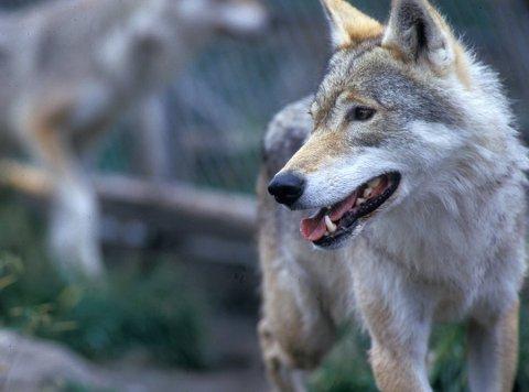 Fellingstillatelse er gitt på ulv etter at tre lam er funnet drept.