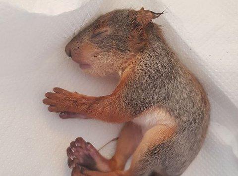 Denne døde ekornungen er blant de Dyrebeskyttelsen Norge har fått inn nå i vår.