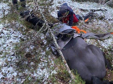 Den 15 år gamle varmblods ridehesten Arton kilte seg fast i i bergsprekk uten fotfeste. Snarrådig hjelp fra naboer, venner og bekjente berget livet hans.