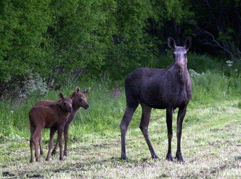 MÅ TESTES: Modum-elger skal testes for skrantesjuke.