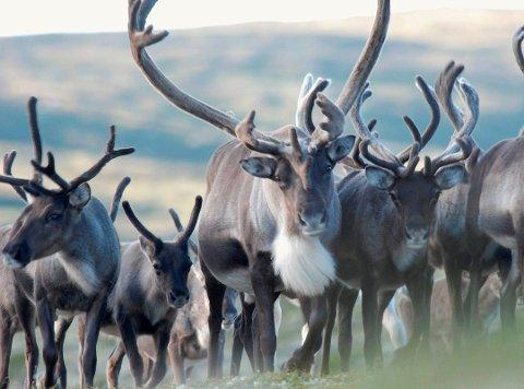 MAGERT: Jegere RA har vært i kontakt med forteller at det har vært få eller ingen dyr i Tinn så langt. (foto Olav Skogen)