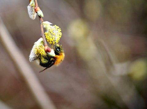 Bien er en av menneskenes beste venner. Uten deres pollinerende evner vil mye av matproduksjonen være tapt. Foto: Sara Johannessen / NTB scanpix