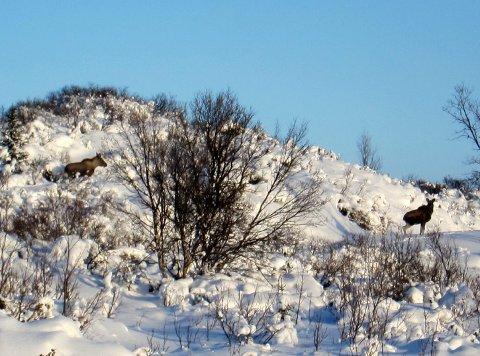 Uventa innslag: Møtet med ei elgkolle og to kalvar var eit triveleg innslag på fyrste skituren i vinter.