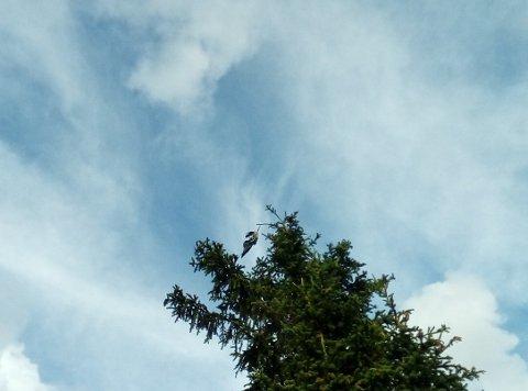 HENGER: Nils Gunnerød så denne kråken henge i toppen av et tre på vei til Murkhøvd der han pleier å fiske. Etter det han klarer å se, og ut ifra bildene på et bedre kamera, kan det være et fiskesnøre den har viklet seg inn i.
