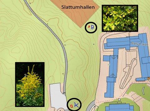 KARTLAGT: Kart som viser forekomsten av to svartelista planter rundt Slattum skole, planter som utbyggerne av Slattumhallen må ta spesielle hensyn til for å unngå spredning. Svart ring nederst viser stedet for et eksemplar av kanadagullris, mens avmerking øverst viser stedet for en høstberberis.